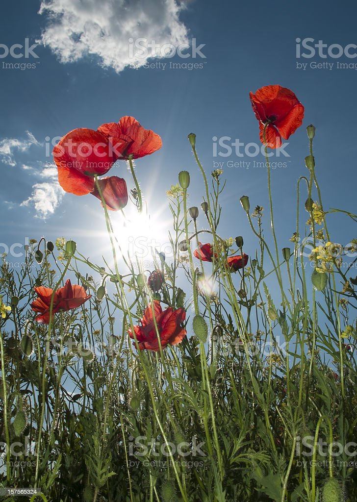 Field of poppies royalty-free stock photo