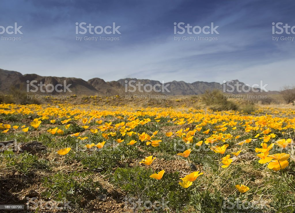 Field of Poppies stock photo