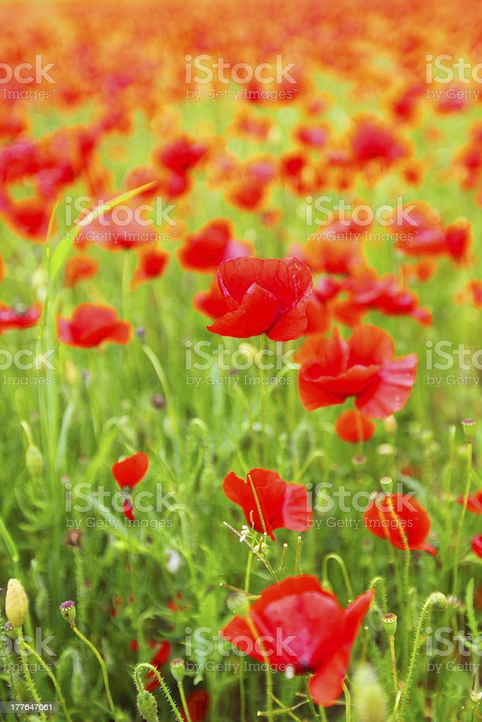 Field of poppies with beauty sky royalty-free stock photo