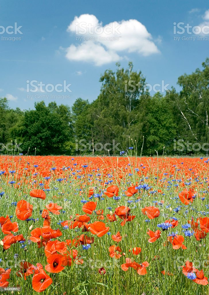 Field of poppies with blue sky and white clouds (XL) stock photo