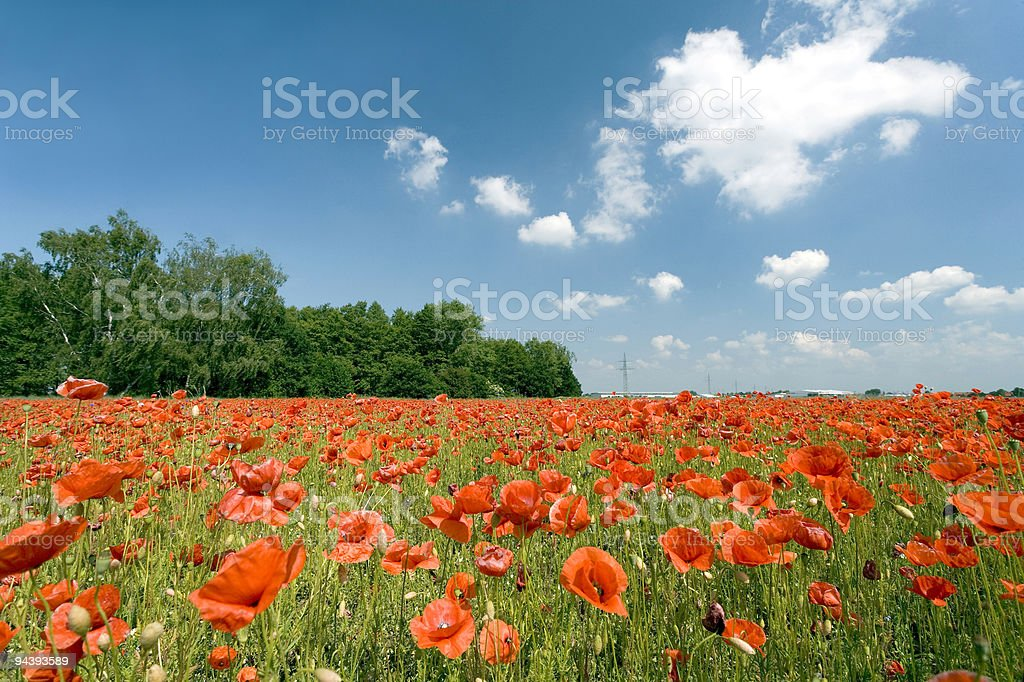 Field of poppies with romantic cloudscape (XXL) royalty-free stock photo