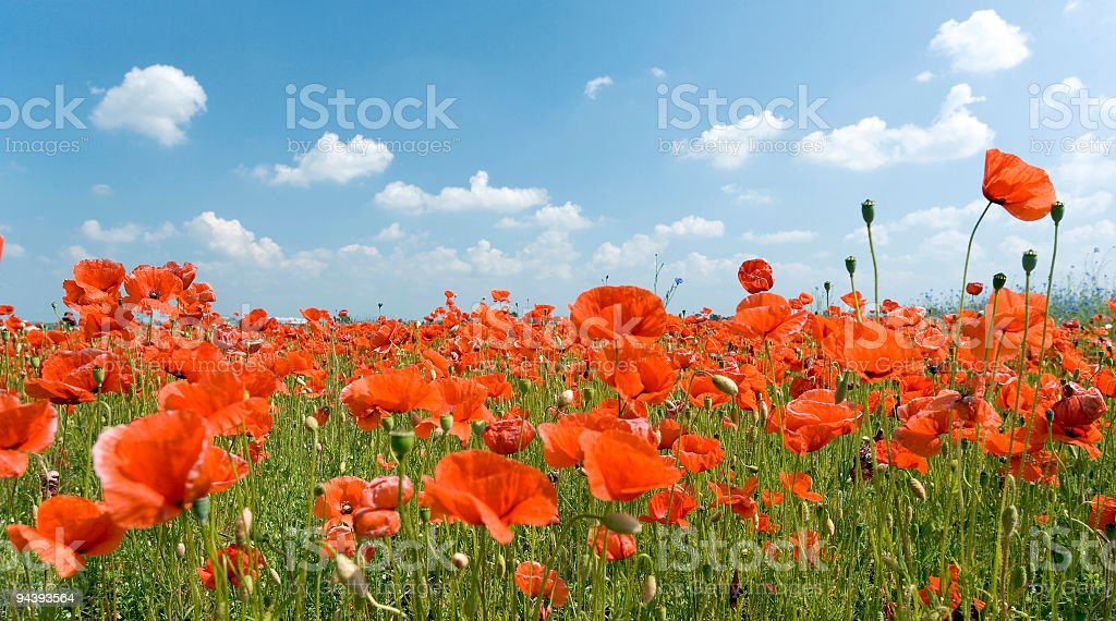 Field of poppies with romantic white clouds in blue sky royalty-free stock photo