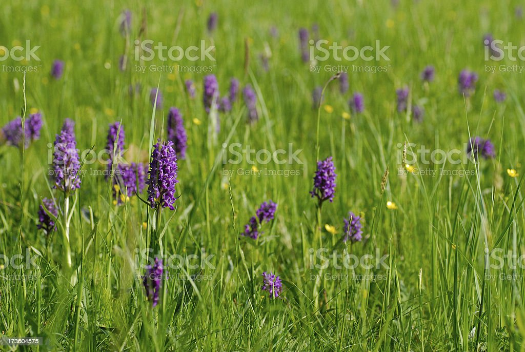 field of protected wild orchids stock photo