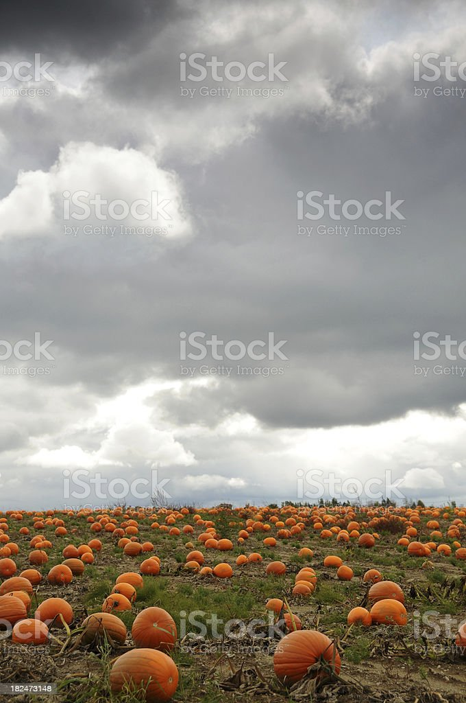 field of pumpkins under a stormy sky royalty-free stock photo