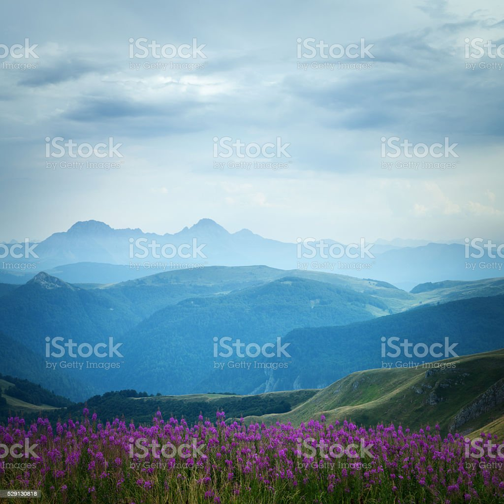 Field of purple flowers and beautiful green valley stock photo