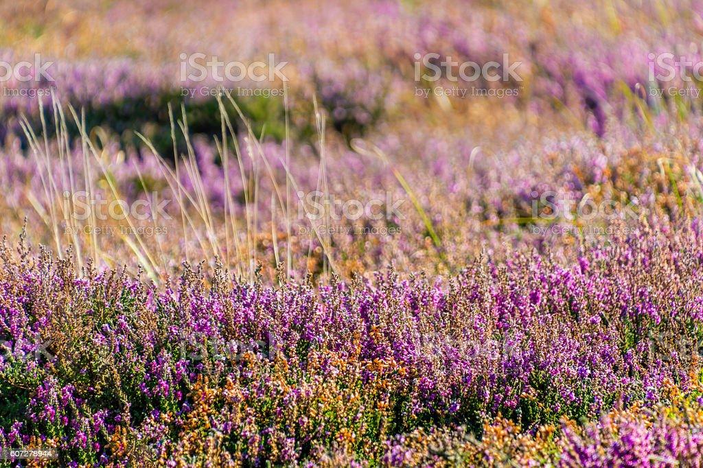 Field of Purple Heather stock photo