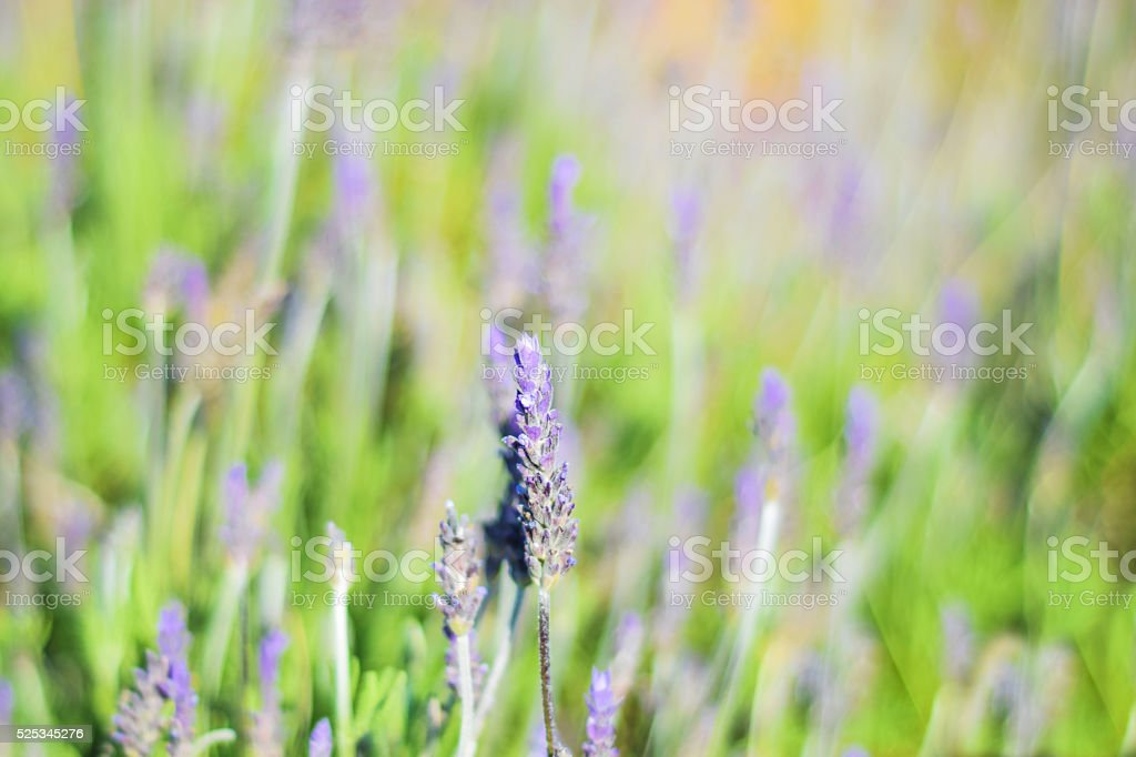 Field of purple levander flowers stock photo