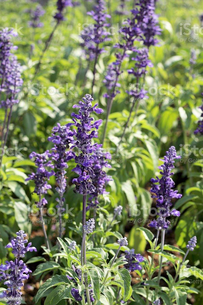 field of purple salvia flowers royalty-free stock photo
