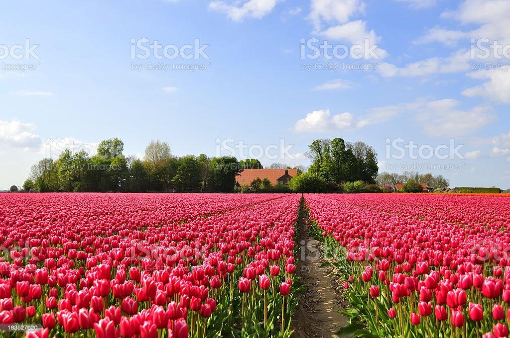 Field of purple tulips royalty-free stock photo