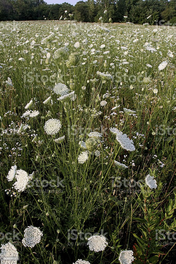 Field of Queen Annes Lace stock photo