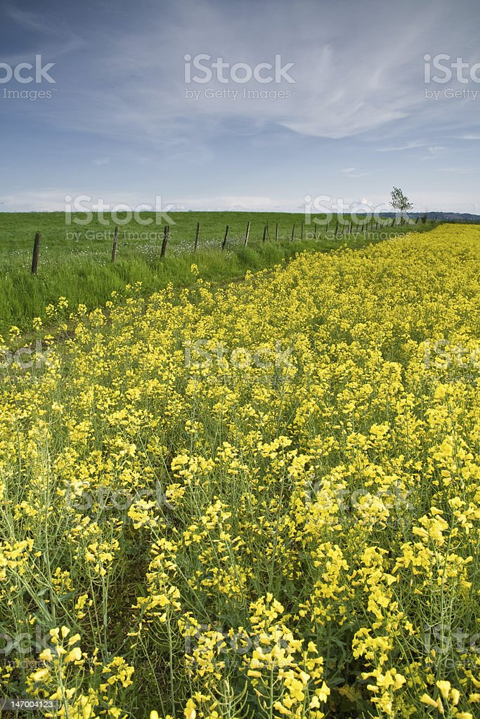 Field of rape flowers in spring stock photo