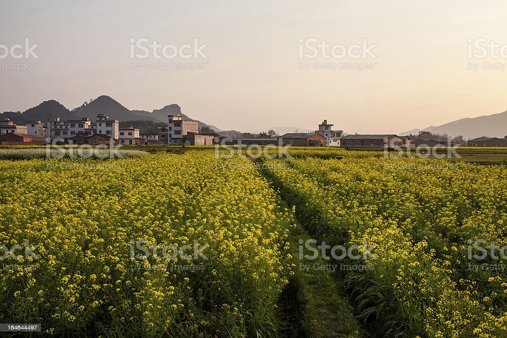 Field of rape flowers,spring pastoral scene ,China royalty-free stock photo