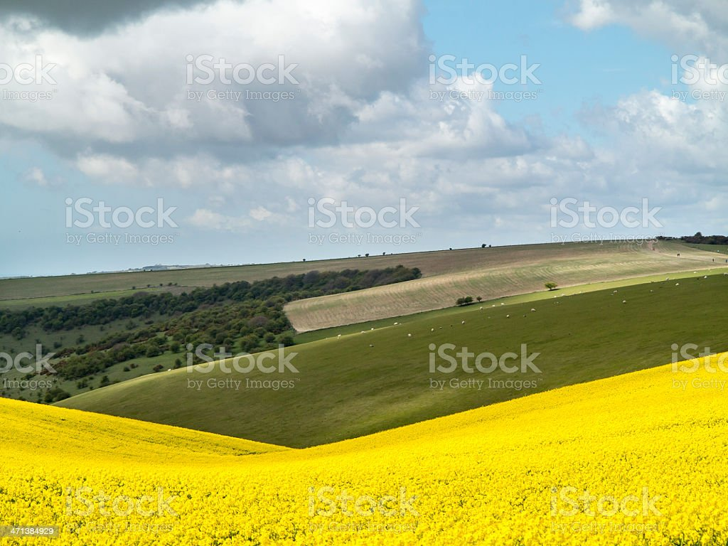 Field of rape in rolling English countryside stock photo