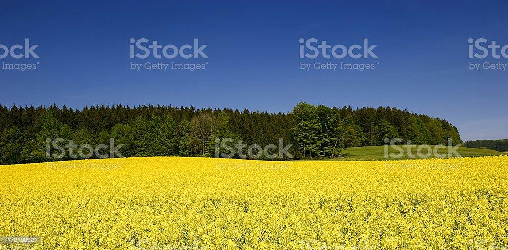 Field of rape royalty-free stock photo