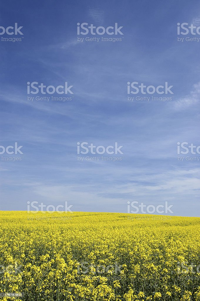 Field of rape stock photo