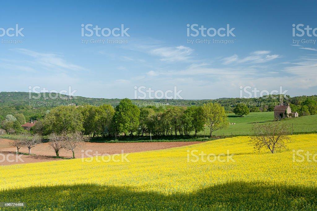 Field of Rape stock photo