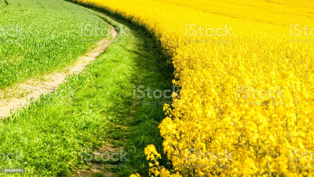 Field of rapeseed, aka canola or colza. Rural landscape with country road. Spring and green energy theme, Czech Republic, Europe stock photo