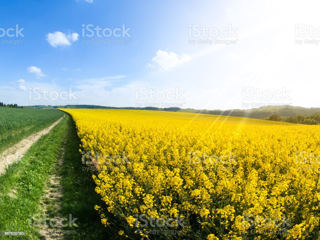 Field of rapeseed, aka canola or colza. Rural landscape with country road, green alley trees, blue sky and white clouds. Spring and green energy theme, Czech Republic, Europe stock photo