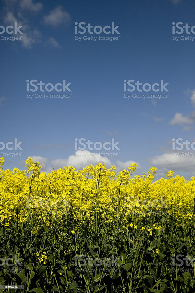 Field of Rapeseed (canola) stock photo