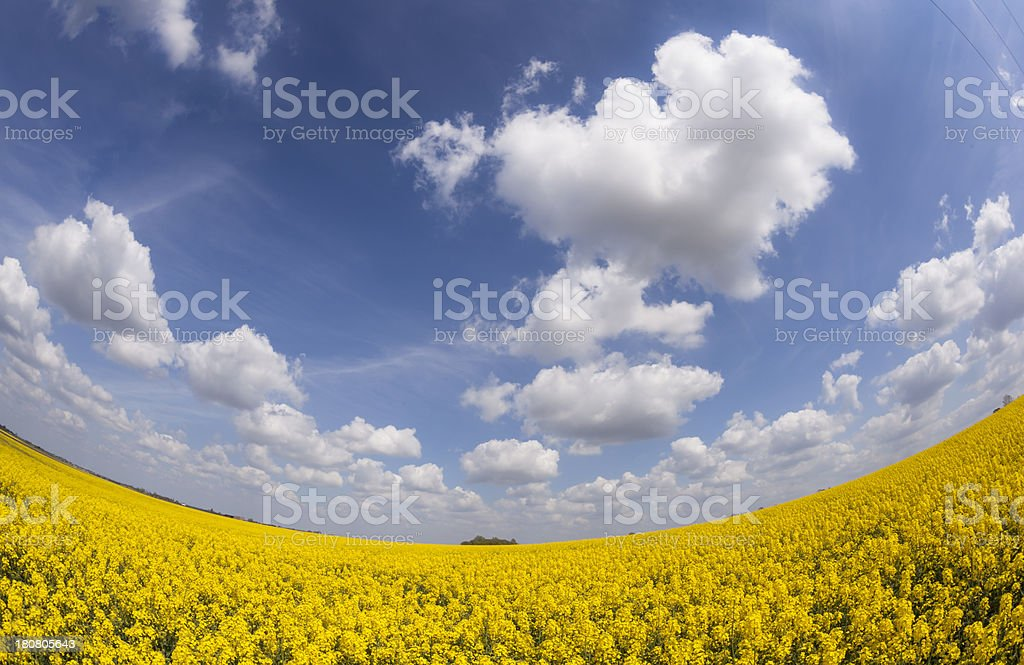 Field of Rapeseed royalty-free stock photo