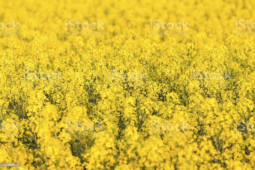 field of rapeseed stock photo