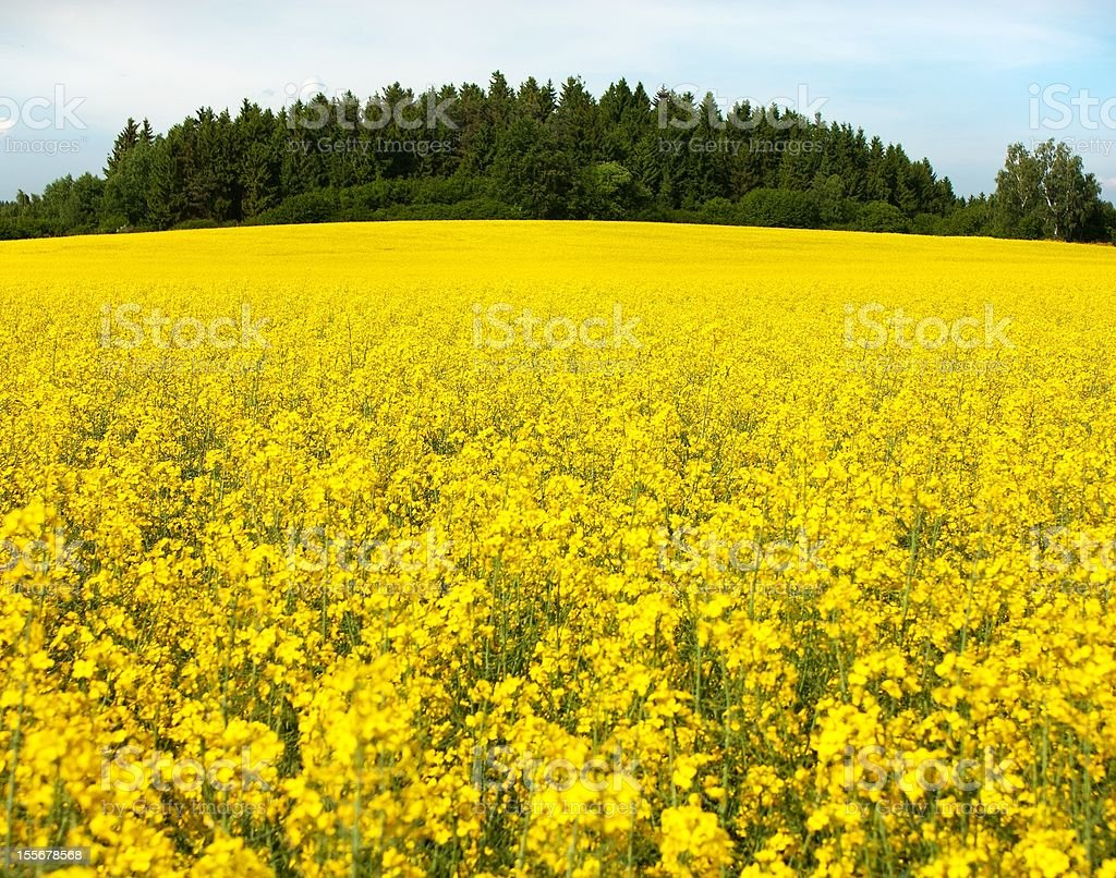Champ de colza de plantes pour l'énergie verte photo libre de droits