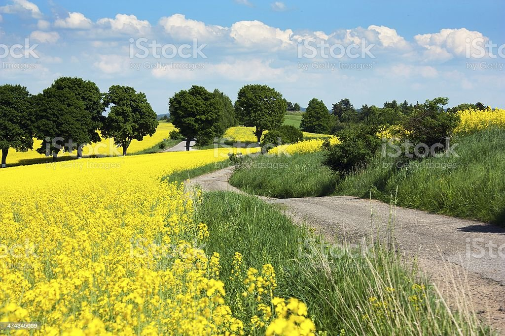 field of rapeseed plant for green energy royalty-free stock photo