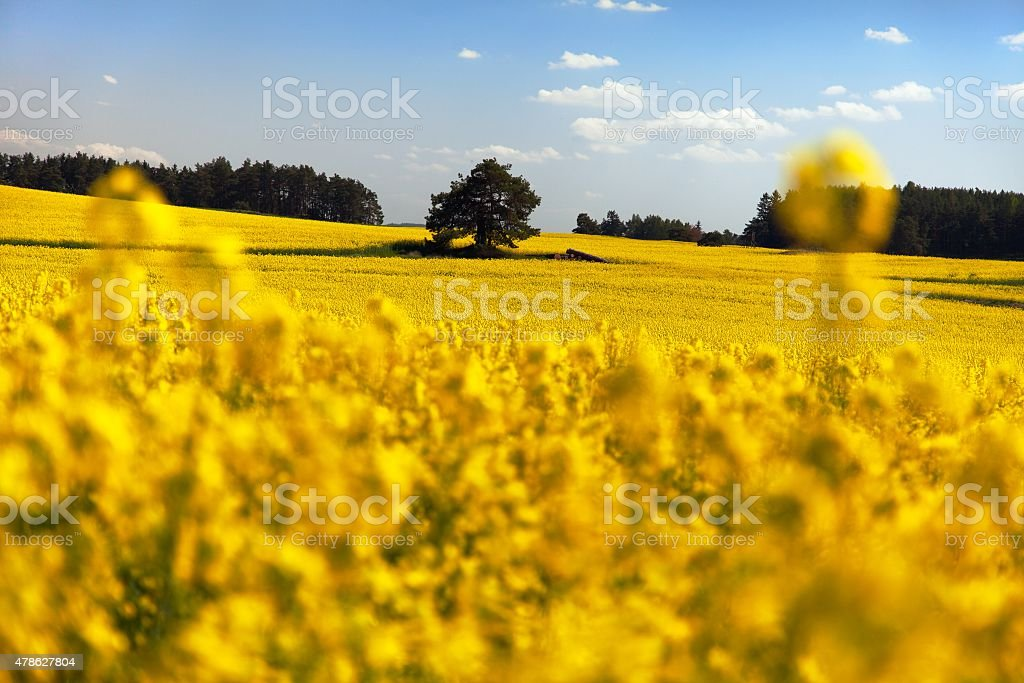 field of rapeseed - plant for green energy stock photo