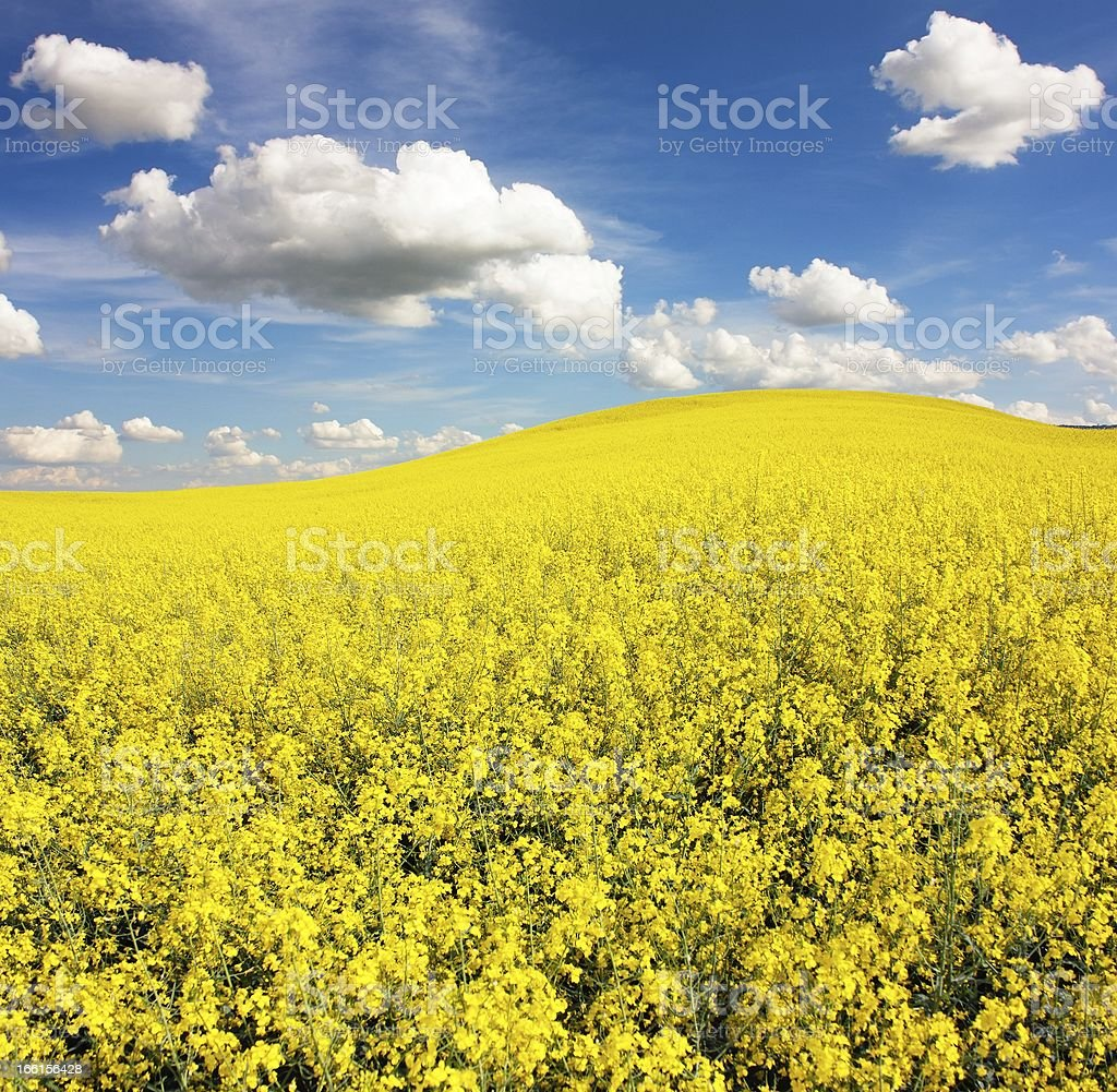 field of rapeseed with beautiful cloud royalty-free stock photo