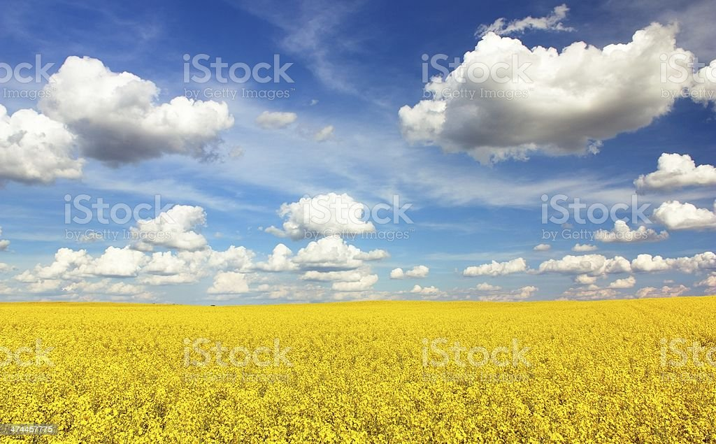 field of rapeseed with beautiful cloud stock photo