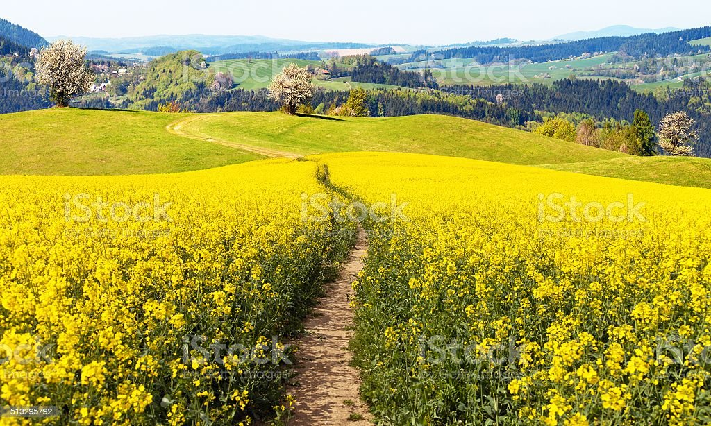 field of rapeseed (brassica napus) with rural road stock photo