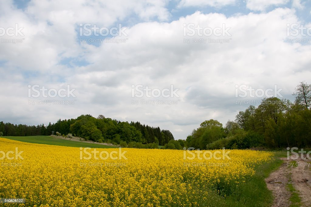 Field of rapeseed with rural road stock photo