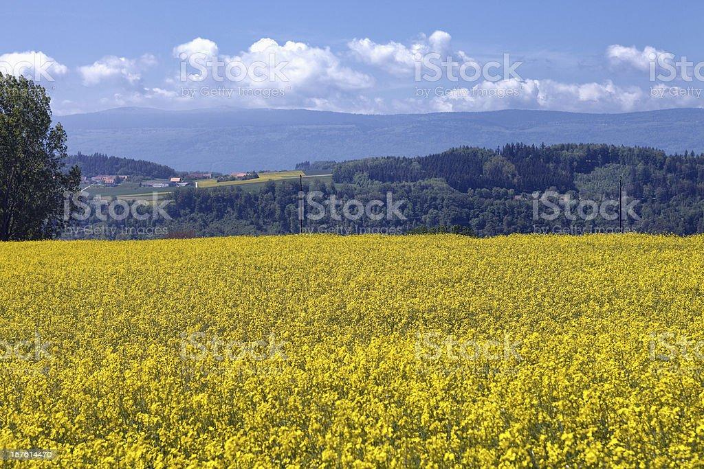 Field of Rapseed or Colza, Switzerland, Vaud, Jura Mountains stock photo