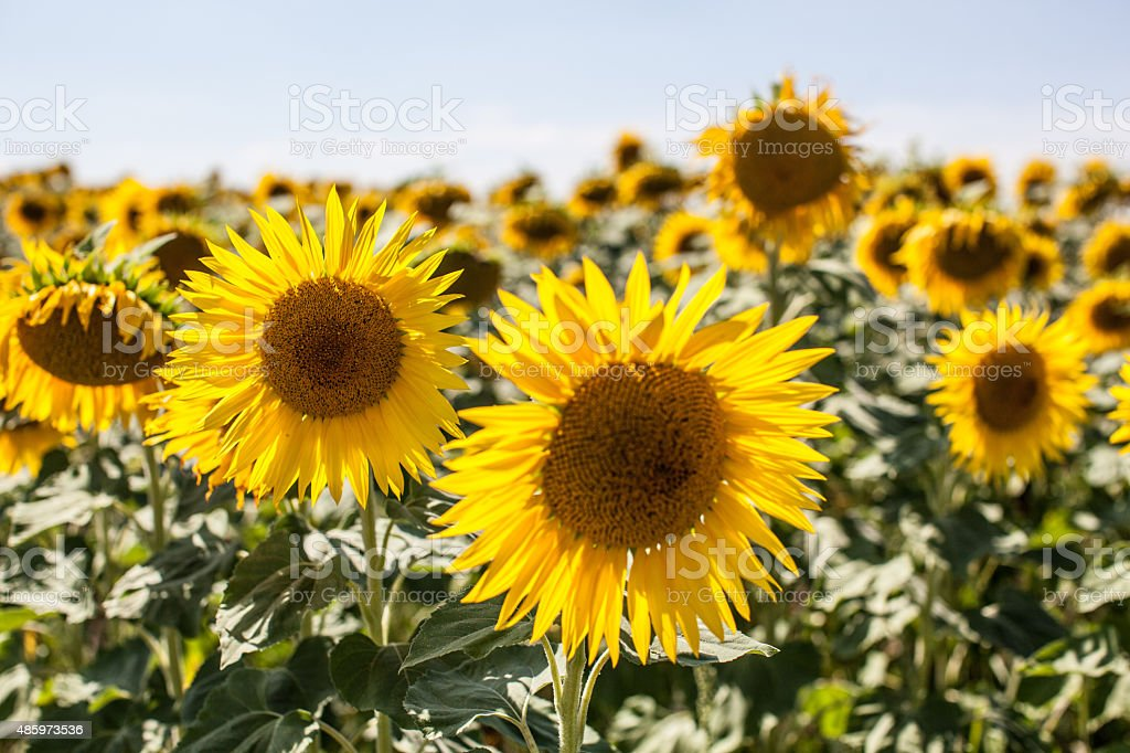 field of real sunflowers in natural daylight stock photo