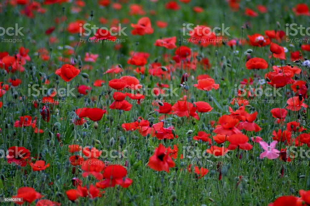A field of red and black poppies royalty-free stock photo