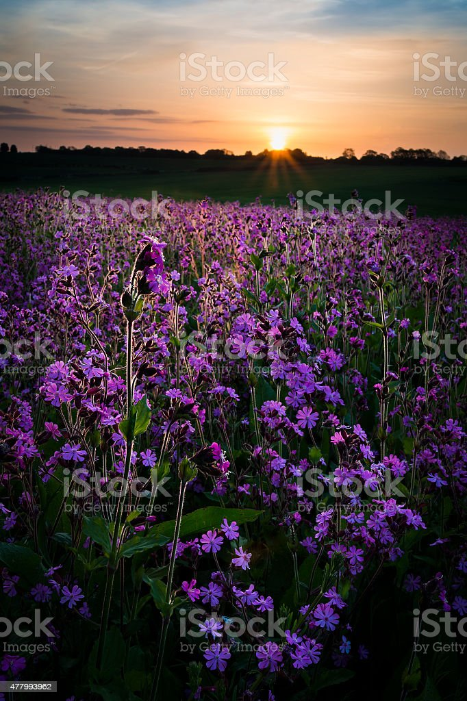 Field of Red Campion at Sunset stock photo