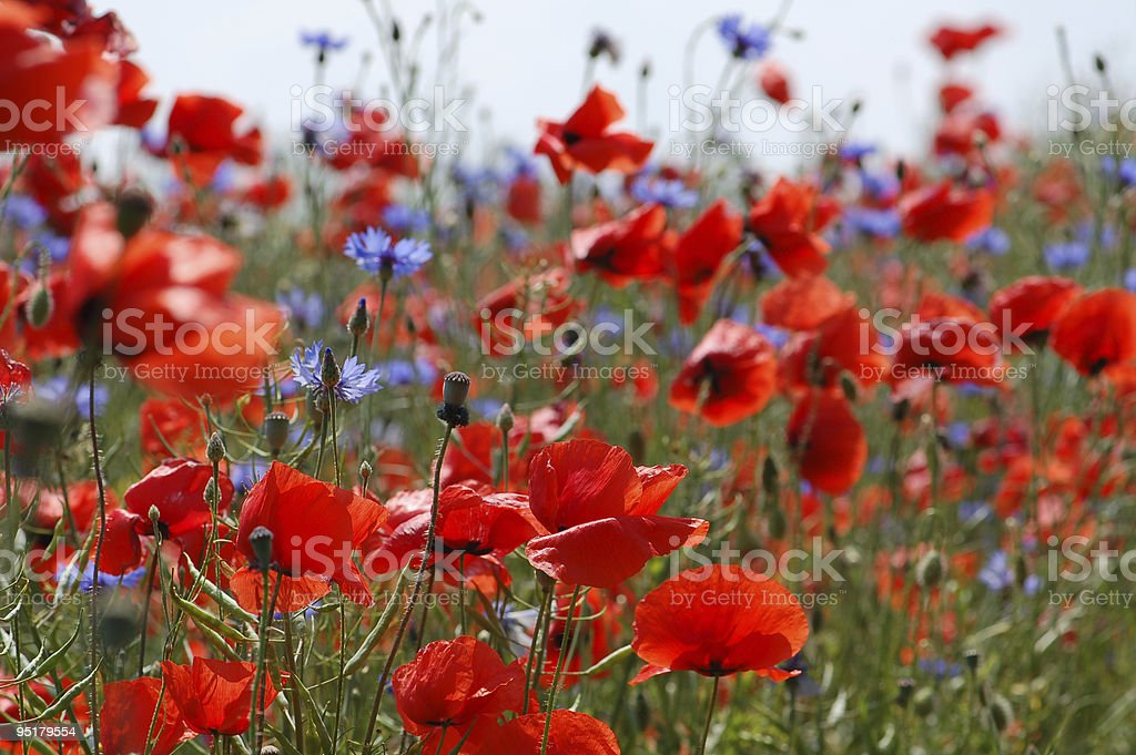 field of red poppies and cornflowers royalty-free stock photo