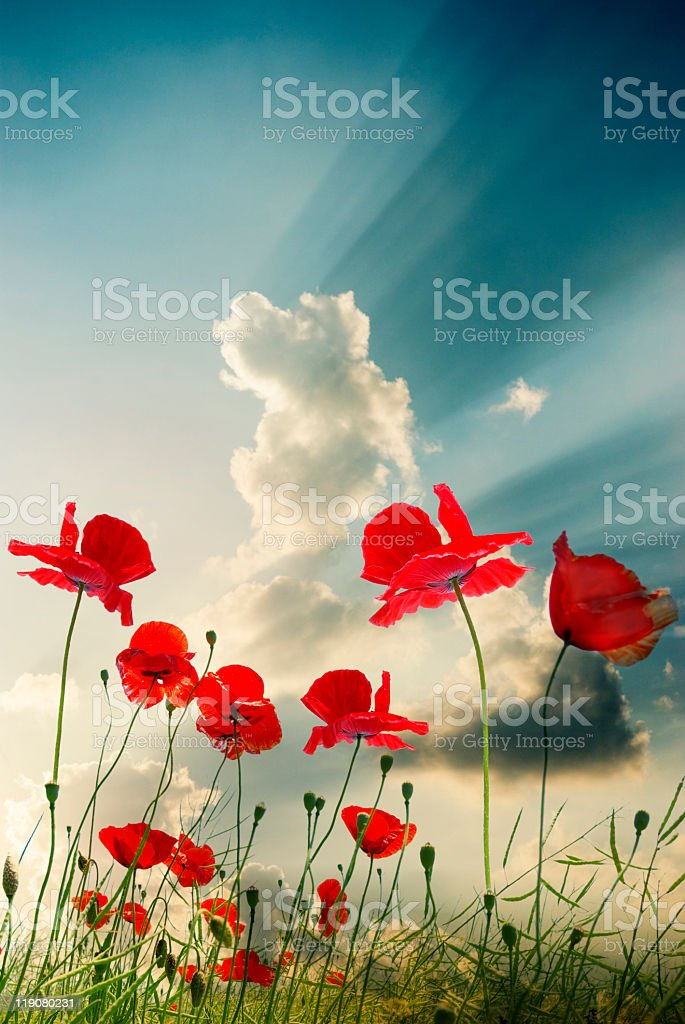 Field of red poppies growing in the sunlight stock photo