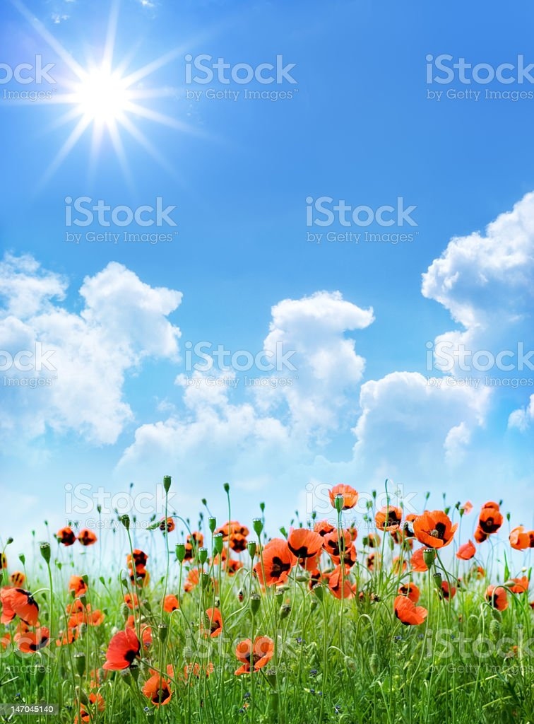 A field of red poppies on a sunny day royalty-free stock photo