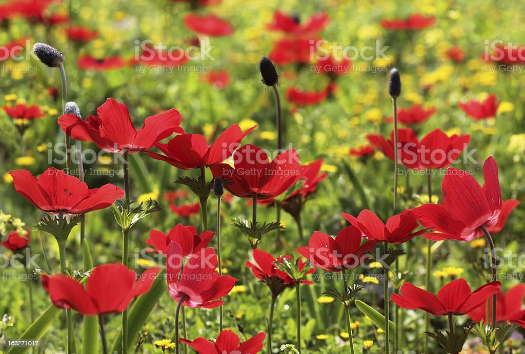 field of red poppies royalty-free stock photo