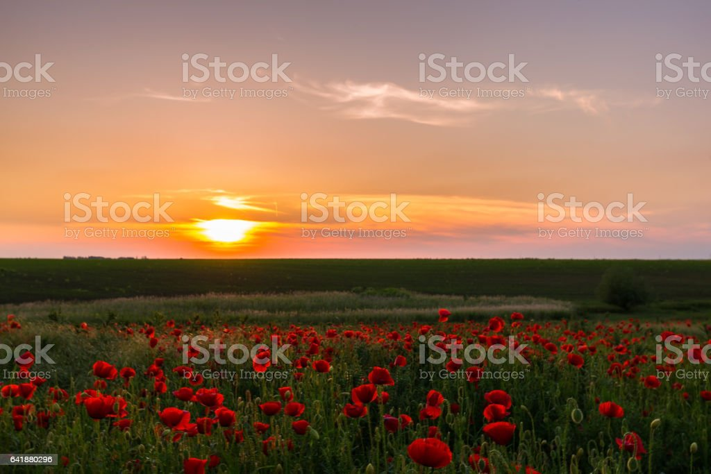 Field of red poppies under bright evening light stock photo