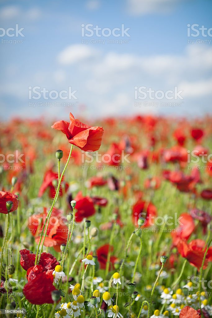 Field of Red Poppy Flowers royalty-free stock photo
