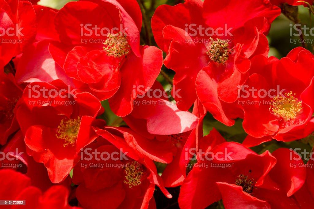 Field of red poppy like flowers macro background stock photo