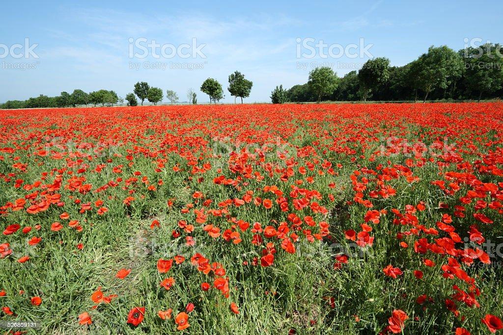 Field of red poppy stock photo