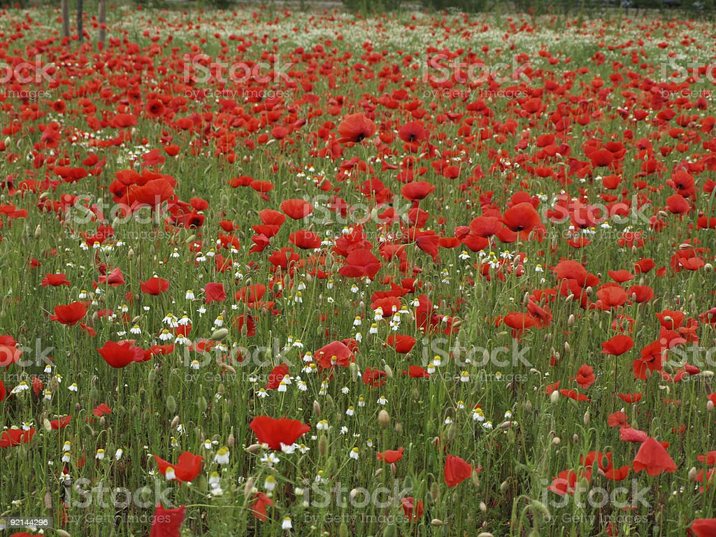 field of red poppys and camomile royalty-free stock photo
