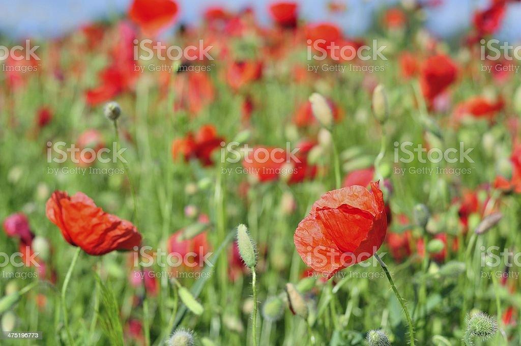 Pole czerwone wild Makowate.  Naturalny tło zbiór zdjęć royalty-free