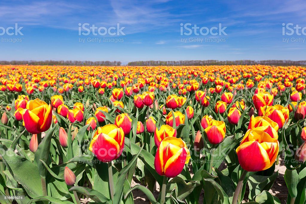 Field of red yellow tulips with blue sky in holland stock photo
