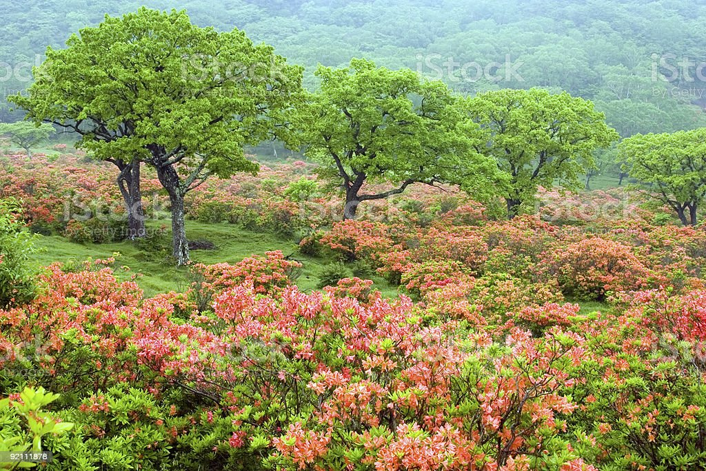 Field of Rhododendrons royalty-free stock photo