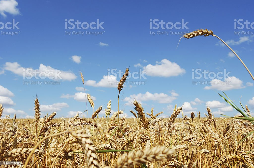 Field of ripe golden wheat royalty-free stock photo