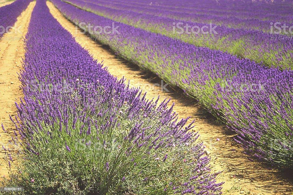 Field of Ripe Lavender stock photo